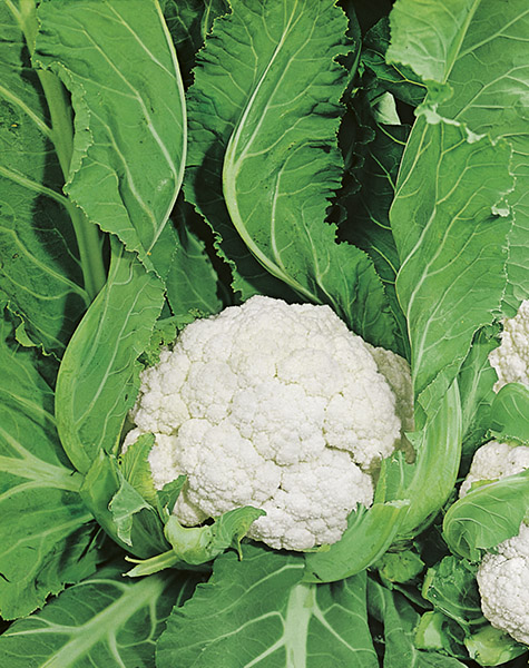 cauliflower agri seeds production