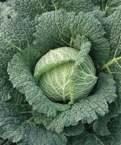 savoy cabbage aubervillers seeds production