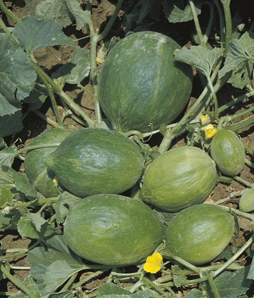 cucumbers from the south italy barattiere seeds production