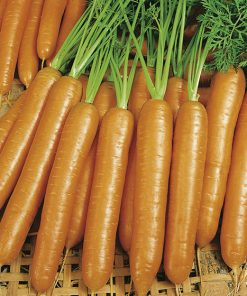carrot berlicum 2 seeds production