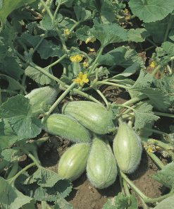 cucumbers from the south italy bianco ovale seeds production