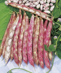 bean borlotto lingua di fuoco seeds production