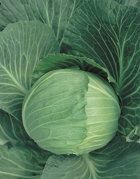 cabbage white copenhagen market 2 seeds production
