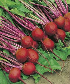 beetroot crimson globe seeds production