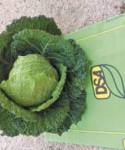 savoy cabbage ds1430 seeds production