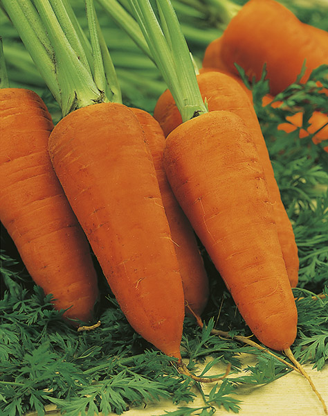 carrot ds2740 seeds production