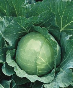 cabbage white dseg110 seeds production