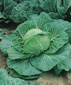 cabbage white dsga080 seeds production