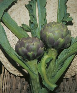 artichoke green globe seeds production