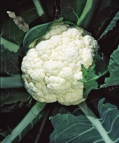 cauliflower igloo seeds production