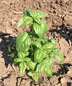 basil italiano classico sel. albenga seeds production