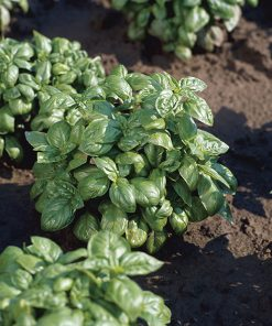 basil italiano compatto seeds production