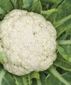 cauliflower merveille de toutes saisons seeds production
