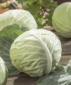 cabbage white romeo seeds production