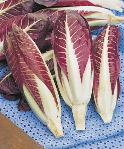 chicory rossa di treviso late seeds production