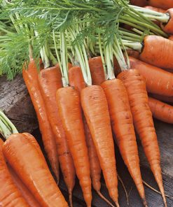 carrot royal chantenay 2 seeds production
