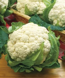 cauliflower snowball y improved seeds production