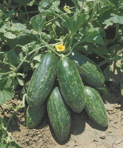 cucumbers from the south italy spuredda leccese verde seeds production