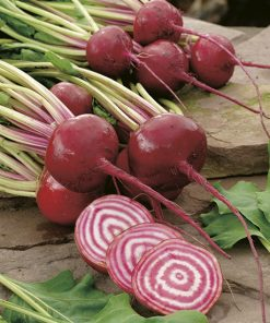 beetroot tonda di chioggia seeds production