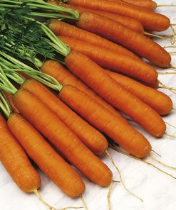 carrot touchon seeds production