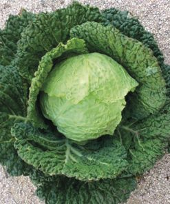 savoy cabbage vertus 2 seeds production