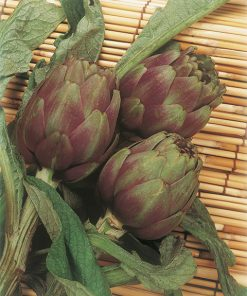 artichoke violet de provence seeds production